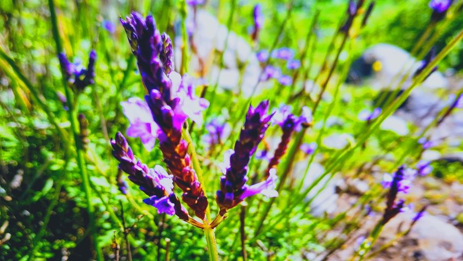 Purple Nature Flower Focus On Foreground Plant Beauty In Nature No People