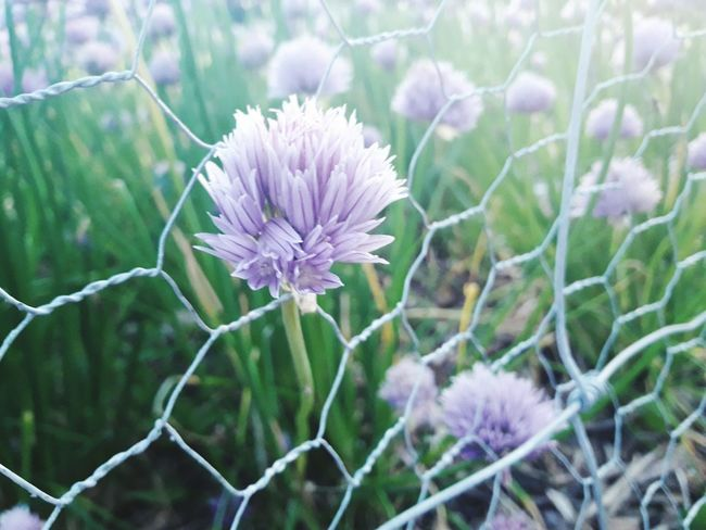 Flower Purple Plant Nature Beauty In Nature Fragility Day Outdoors No People Petal Flower Head Close-up Growth Springtime Freshness Thistle