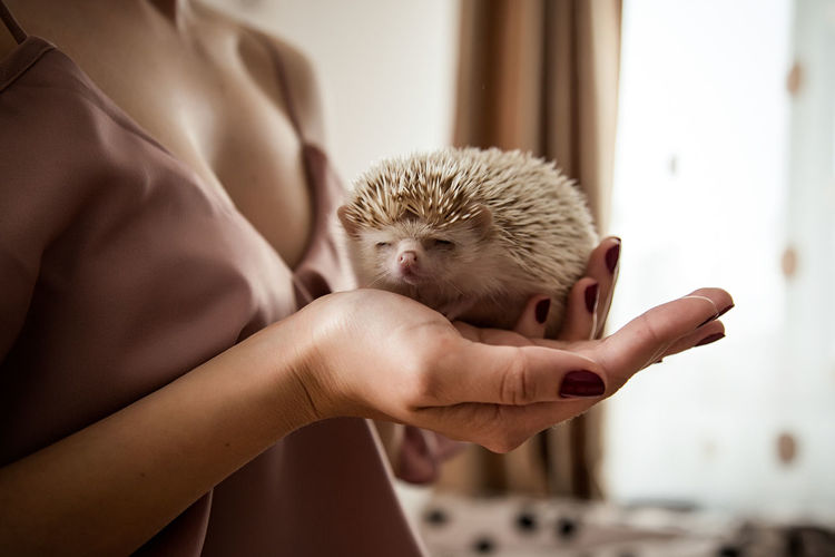 Midsection of person holding a baby hedgehog