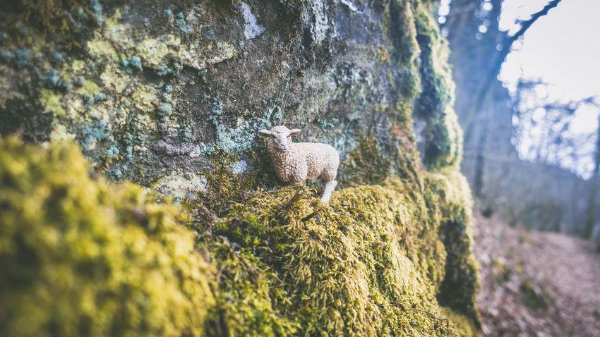 2017, Julie Gatto Animal Themes Day Forest Julie Gatto Nature One Animal Outdoors Sheep