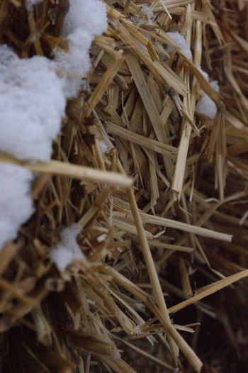 Agricultural Botany Brown Change Close-up Cold Detail Dry Farmers Focus On Foreground Growing Growth Hay Hay Is For Horses No People Part Of Plant Selective Focus Snowy Hay Springtime Stem Studio Shot Twig Wood