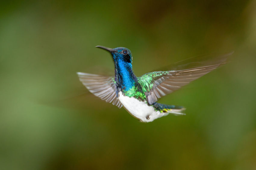 White-necked Jacobin (Florisuga mellivora) - male Braulio Carillo National Park Costa Rica Florisuga Mellivora White-necked Jacobin Animal Animal Wildlife Animals In The Wild Bird Blurred Motion Flying Heredia Hummingbird Mid-air Motion Nature Outdoors Rainforest Spread Wings Tropical Wildlife