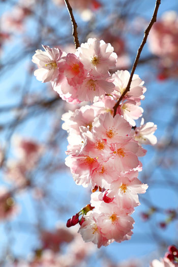Close up sakura cherry blossom over blue sky Flower Flowering Plant Cherry Tree No People Pink Color Flower Head Nature Cherry Blossom Springtime Twig Day Low Angle View Branch Petal Beauty In Nature Close-up Growth Blossom Tree Fragility Freshness Plant Sakura Sakura Blossom Sakura Trees