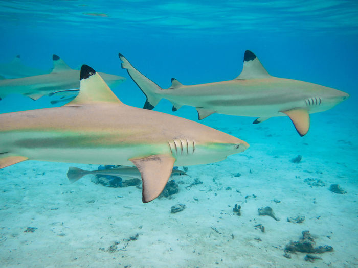 Black tip reef sharks in the lagoon of moorea, french polynesia