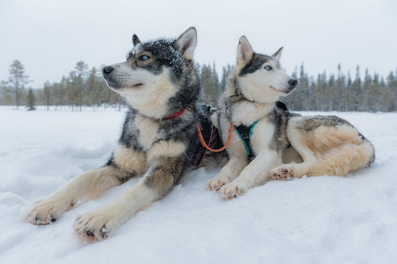Husky Finland Lapland Winter Animals Cold Temperature Polar Circle Wildlife