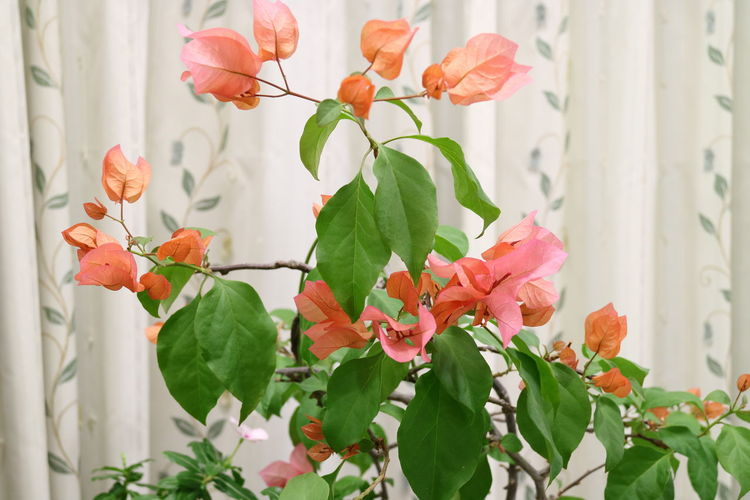 Bougainvillea growing on potted plant against curtain