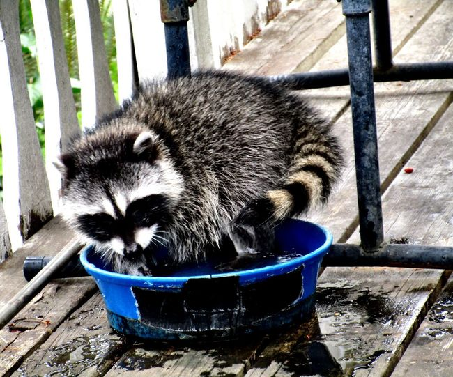 Curious baby raccoon using his water dish for a bathing tub. Baby Raccoon Animal Animal Bathing Animal Themes Animal Wildlife Animals In The Wild Close-up Container Day Domestic Domestic Animals Focus On Foreground Mammal Nature No People One Animal Outdoors Pets Raccoon Relaxation Vertebrate Water Dish Whisker Wood - Material