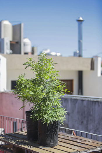 Self-cultivation of cannabis for medicinal use.