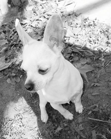 Polly Lapdoglife Magestic Animal Dogoftheday Doglover Looking Away Blackandwhite Alert Dog Applehead Chihuahua Cocky Confident  Smalldogsbigheart Chihuahualovers Chihuahuaoftheday Chihuahuapower Smallbutfierce Smallbutbigatheart SmallButMighty Chi Chihuahua Whitedog Shorthaired Littlemisssunshine Littlemissprincess PrincessPolly Lap Dog Purebred Dog Chihuahua - Dog