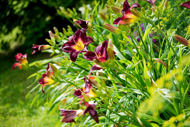 Lily Beauty In Nature Blooming Close-up Day Flower Flower Head Fragility Freshness Garden Green Color Growth Insect Lilies Lilies In Bloom Nature No People Outdoor Outdoors Park Park - Man Made Space Petal Plant Red Lily Summer Gardens