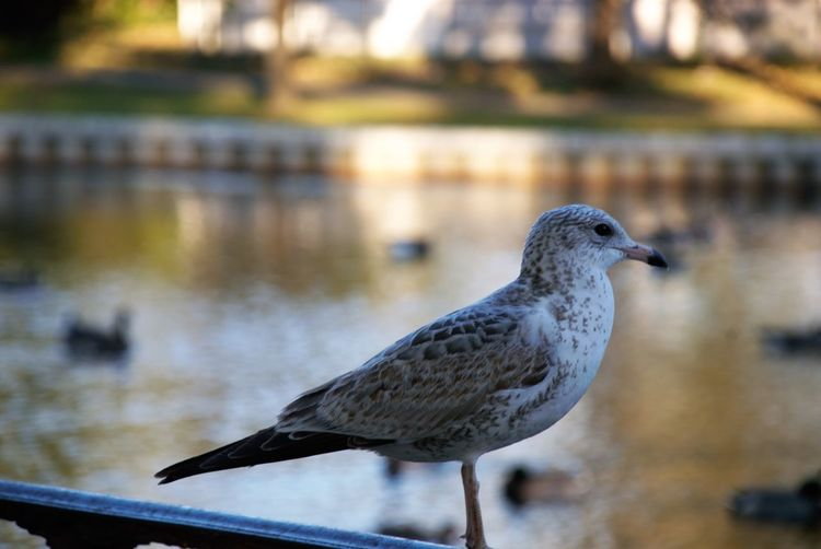A resting Plover Animal Animal Themes Animal Wildlife Animals In The Wild Bird Close-up Day Focus On Foreground Full Length Lake Nature No People One Animal Outdoors Perching Plover Seagull Side View Vertebrate Water EyeEmNewHere