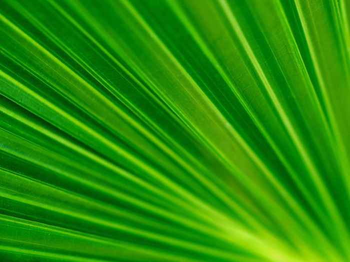Backgrounds Beauty In Nature Botany Close-up Day Fragility Freshness Frond Full Frame Green Color Growth Leaf Nature No People Outdoors Palm Leaf Palm Tree Satisfaction Tree