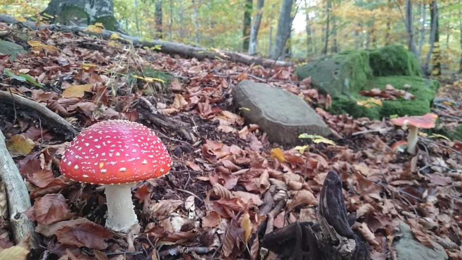 No People Mushroom Nature Forest Red Outdoors Close-up Beauty In Nature