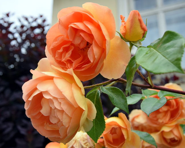 Roses. Blooming Roses Garden Flowers Peach Colored Roses Beauty In Nature Blooming Close-up Day Flower Flower Head Focus On Foreground Fragility Freshness Garden Roses Growth Leaf Nature No People Orange Color Outdoors Peach Color Flowers Petal Plant Rose Garden Roses Rose🌹