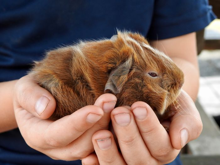 Midsection of boy holding guinea pig