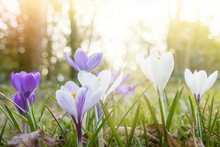 Flower Spring Springtime Season  Easter Nature Bud Blossom Outdoors Plant Flowering Plant Freshness Beauty In Nature Grass Close-up Land Field Fragility No People Growth Petal Vulnerability  Purple Crocus Meadow Day Iris Flower Head Flowerbed