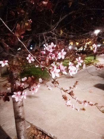 Night Sakura In Serbia EyeEm Best Shots EyeEmNewHere EyeEm Nature Lover Eye4photography  Tree Flower Water Springtime Blossom Cherry Blossom Cherry Tree