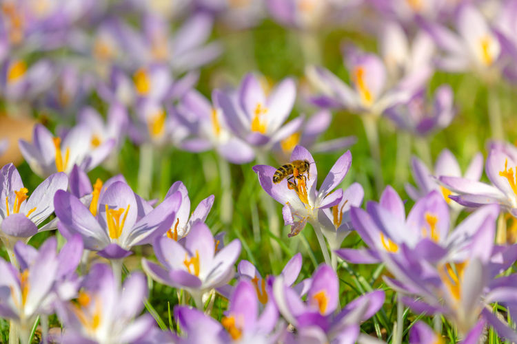 Bees pollinate Crocuses. Close-up of blooming Crocus flowers on a sunny Day. Crocuses on a Meadow in Spring. . Growing Crocus. Purple No People Flower Head One Animal Close-up Freshness Fragility Vulnerability  Animal Wildlife Beauty In Nature Animal Petal Invertebrate Insect Animal Themes Animals In The Wild Flowering Plant Bees Seasonal Season  Sunny Springtime Beautiful Growth Green Grass Pink Color Blossom Bloom Blooming Meadow Bright Plant Nature Ecology Bee Honey Bee Pollen Pollination Field Flower Crocus Vulnerability  Outdoors Paradise Ecosystem  Garden Gardening Garden Flowers Fields
