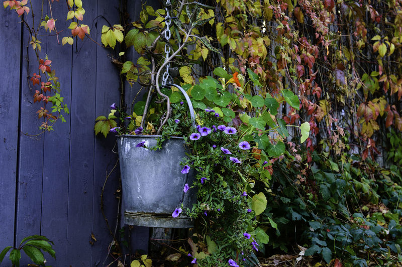 Autumn colors in the old town of Fredrikstad. Autumn Autumn Colors EyeEm Flower EyeEm Gallery Norway The Week On EyeEm Wall Flowers Fredrikstad Gamlebyen Zinc Bucket The Still Life Photographer - 2018 EyeEm Awards