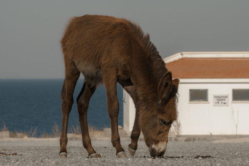 Karpaz Eşşeği / Karpaz's Donkey Animal Body Part Brown Cyprus Day Donkey Focus On Foreground Kktc No People Outdoors Showcase June Sky Trnc