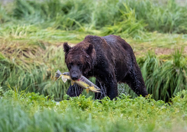Bear with prey on grass