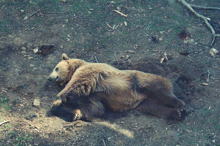 Parco Orecchiella Orso Bear Italy