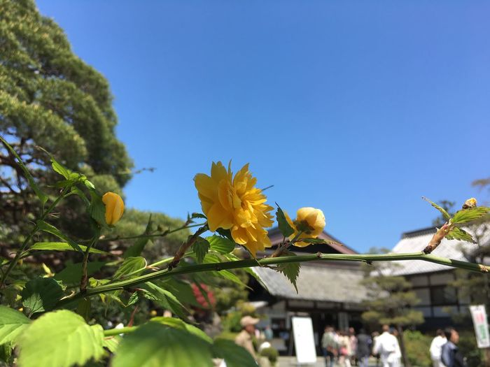 Beauty In Nature Blue Bright Yellow Flowers Japanese Rose Kerria Japonica Nature Spring In Japan