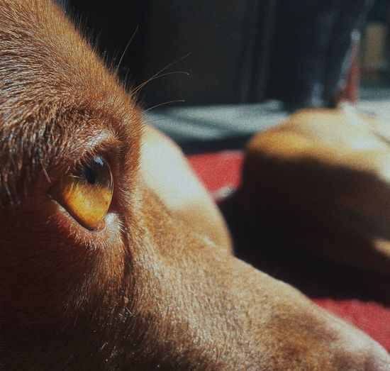 Dog Eyes One Animal Close-up Mammal Animal Themes Domestic Animals Indoors  Pets No People Day校狗超可愛