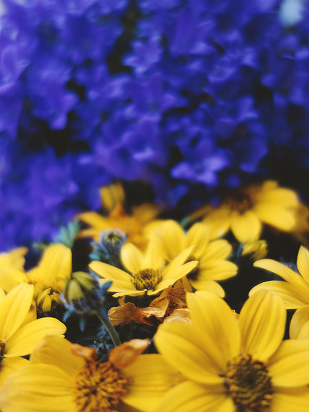 Springy color contrast... Contrast Colors Yellow Blue Close-up Selective Focus Flower Head Flower Yellow Petal Springtime Purple Blossom Close-up Plant Flowering Plant In Bloom Pollen Blooming Botany Botanical Garden Plant Life