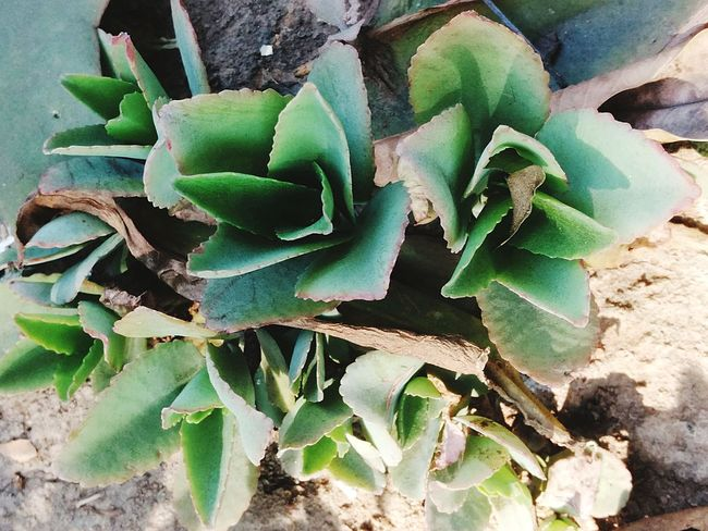 Succulent Plants Leafy Green Color Leaf Pattern Leafy Greens Green Nature Photography Nature's Creation Natural Nature's Beauty Naturelovers Freshness Growth Cactus Plant Green Color Growth Nature No People Outdoors