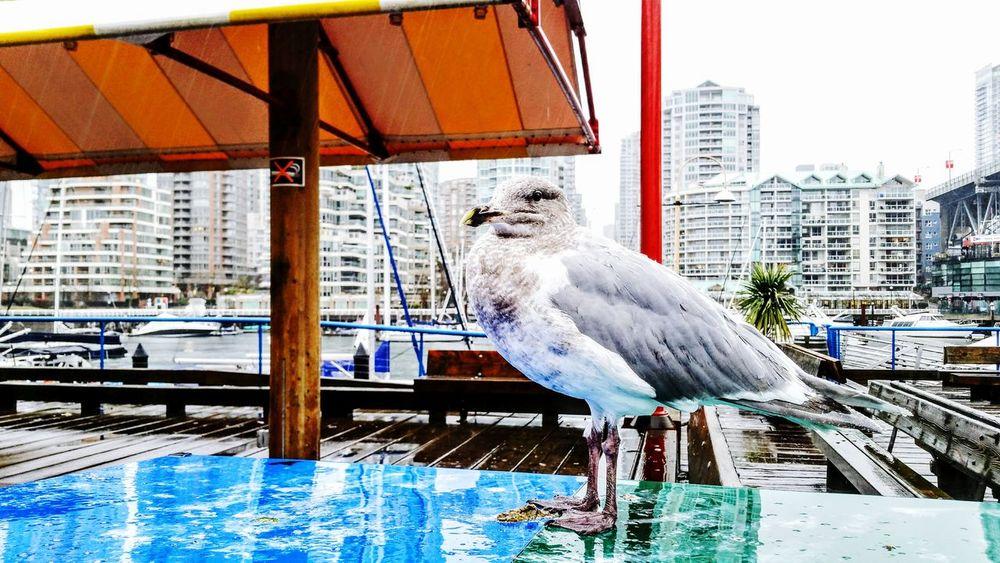 Canada, Eh? Vancouver Canada Seagull Sea City
