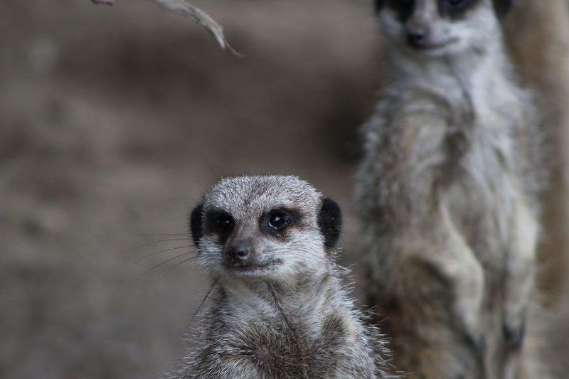 Animal Hair Animals In The Wild Close-up Focus On Foreground Front View Looking Looking At Camera Mammal Meercat  Meerkats Meerkats On Guard Meerkats Standing One Animal Portrait Suricata Suricatta Wildlife Zoo Zoology