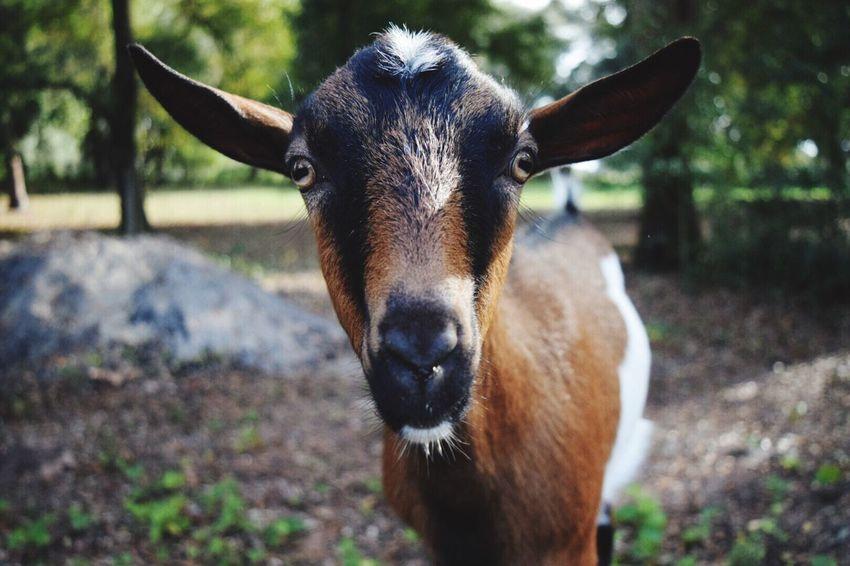 Gilbert 😊 Goat Animal Animals Farm Life FarmAnimal Farm Pet Portrait Pet Pets Pet Life  Goat Life Goatfarm First Eyeem Photo