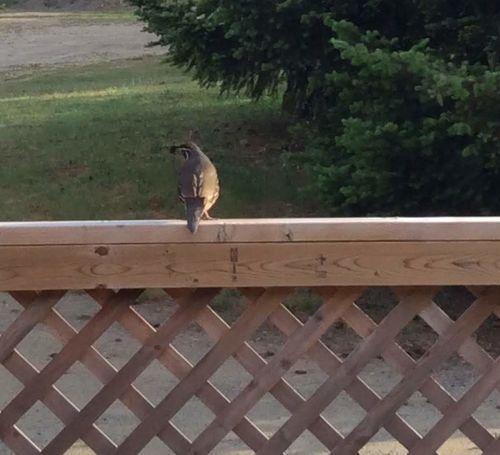 Quail on my fench railing. Bird Perching Fence