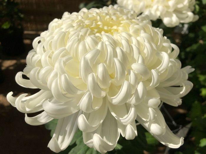 Close-up White