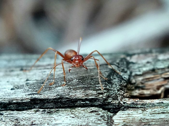 Animal Body Part Animal Leg Animal Wildlife Ant Close-up Day Focus On Foreground Insect Invertebrate No People One Animal Outdoors Selective Focus Textured  Wood - Material
