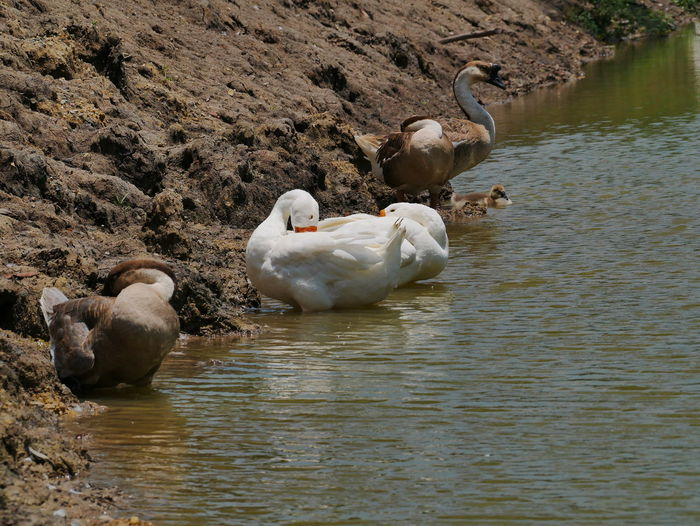 Prink Animal Animal Family Animal Themes Beauty In Nature Goose Gooses Family Group Of Animals Lake Nature No People Outdoors Preening Swan Vertebrate Water Waterfront