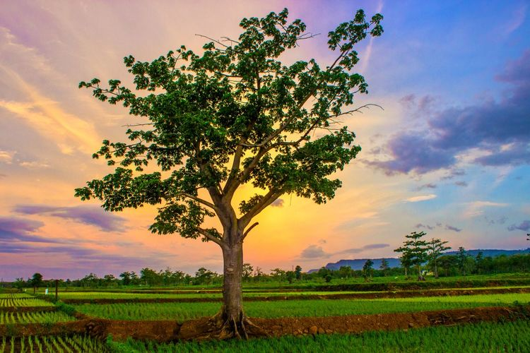 Tree on field against sky during sunset