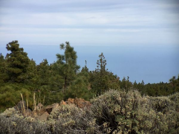 Tenerife Forest Pinetrees Sea