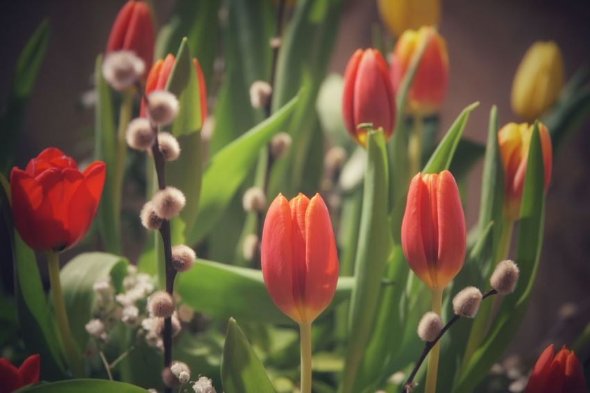 Tulips and Willows Beauty In Nature Bokeh Bokeh Photography Close-up Closeup Flower Flower Head Flowers Focus On Foreground Fragility Hazy  No People PENTAX K-1 Plant Snapseed Soft Focus Tulip