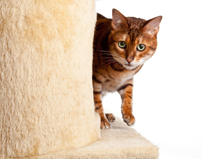 Close-Up Portrait Of Cat On Scratching Post Against White Background