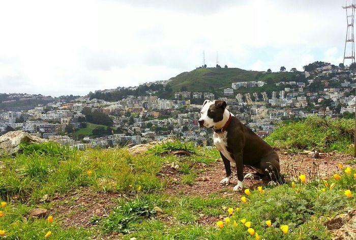 Pets Corner Spoon The Dog Corona Heights Sutrotower Staffy Pitbull Summer Dogs
