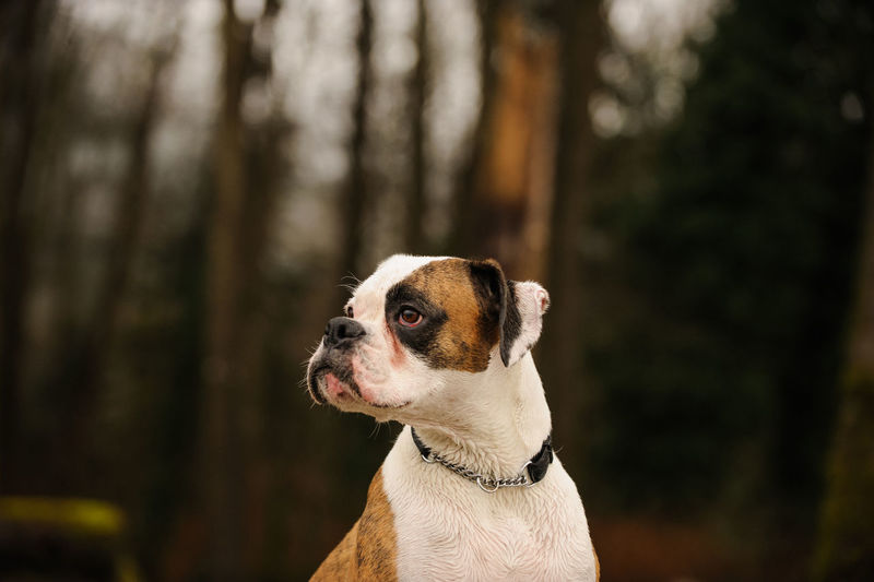 Close-up of dog looking away at forest