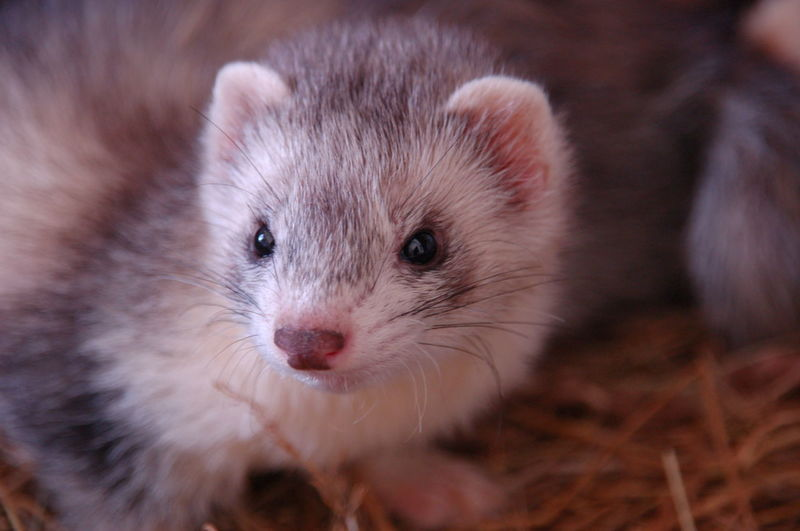 Ferret Whiskers Animal Themes Baby Ferret Cute Domestic Animals Ferret Love Ferrets  Looking At Camera Mammal Mustelidae One Animal Pets Portrait