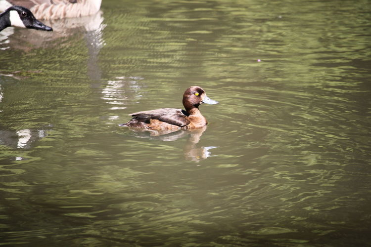 Lucky Lucky Shot 🇩🇪Germany Dortmund Bird Water Swimming Lake Waterfront Duck Duckling