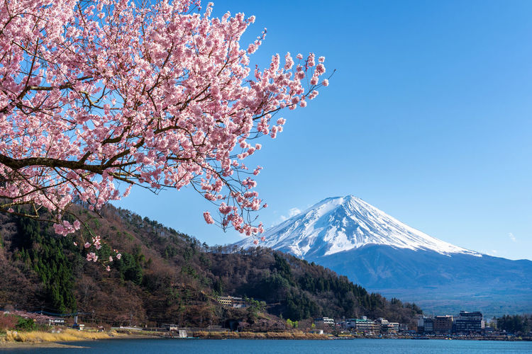 View of cherry blossom from snowcapped mountain