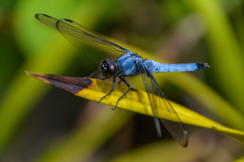 Japanese Dragonfly Dragonfly Japan Japanese  Blue Close Up Close-up Insect Leaf