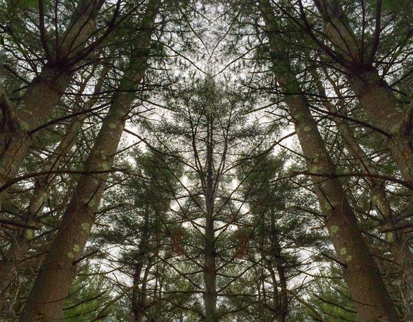 Feeling small among the pines. Towering Over Trees Pinetrees EyeEm Nature Lover IPhoneography IPS2015Trees