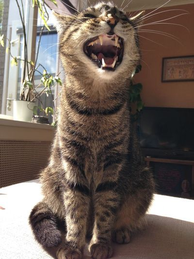 Oure Yawning cat
