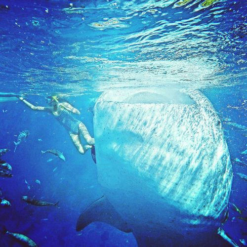 Woman Snorkeling By Whale Shark